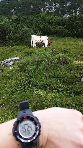 Selbst auf dieser höhe nicht ungewöhnliches, Kühe beim weiden